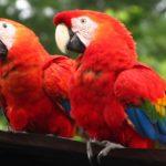 farm scarlet macaws (Ara macao)