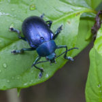 Blue beetle (Order: Coleoptera; Family: Tenebrionidae). Villa Carmen Biological Reserve near Pilcopata, Peru. The reserve is around 600 meters in elevation and includes pre-montane rainforest and lowland rainforest. It is owned by the Amazon Conservation Association and its Peruvian sister organization, La Asociaci—n para la Conservaci—n de la Cuenca Amaz—nica.