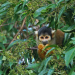 Black-capped squirrel monkey (Saimiri boliviensis) at Los Amigos by Lindsay Erin Lough