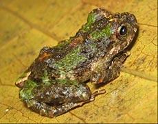 New Frog Species Discovered at Los Amigos