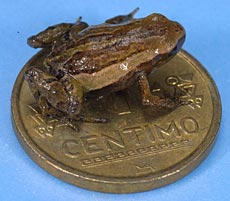 Pygmy Andean Frog