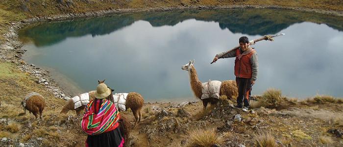 Indigenous Community Herding Alpaca