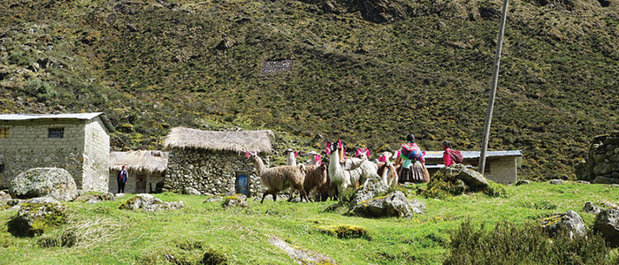 Alpaca Herding Community in Andes