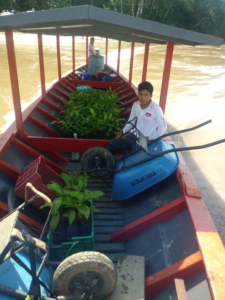 Rosewood seedlings being transported by river