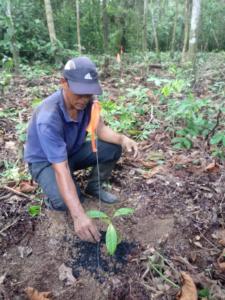 Team member planting rosewood seedling