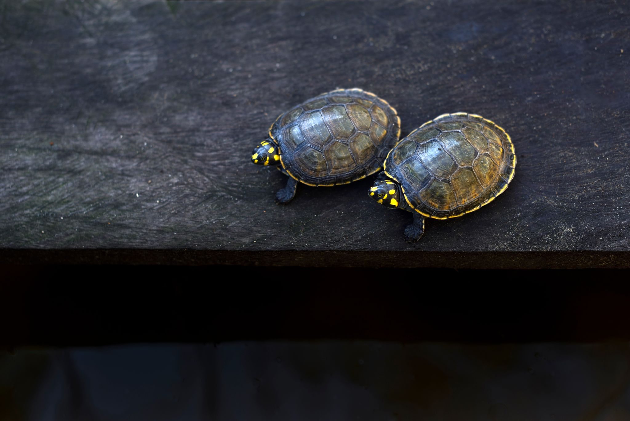 Photo of Two Yellow-spotted river turtles (Podocnemis unifilis)