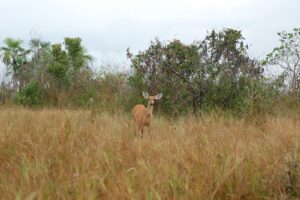 Photo of Bolivia: Marsh deer