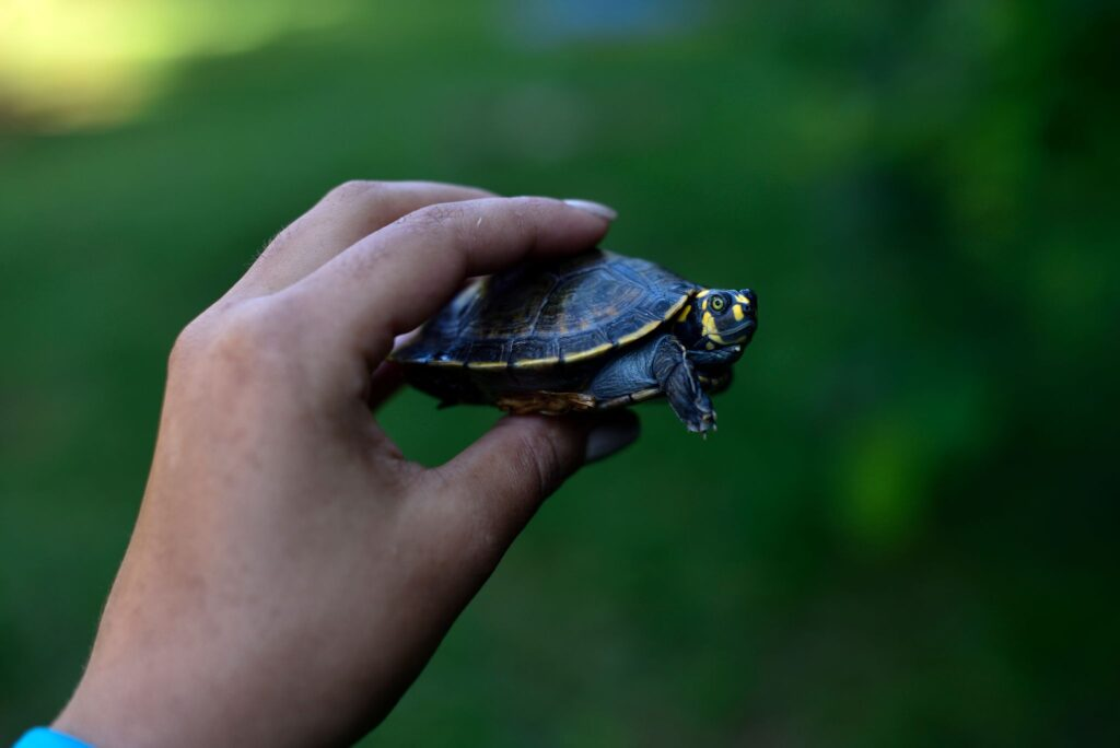 Photo of Yellow-spotted river turtle (Podocnemis unifilis)