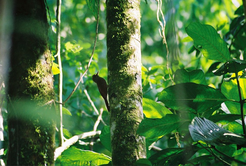 Woodcreeper bird