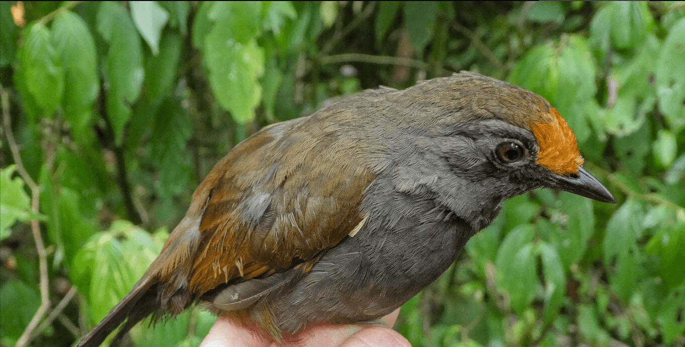 Rufous-fronted antthrush