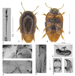 Phytotelmatrichis osopaddington beetle species discovered by Caroline Chaboo