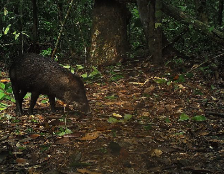 Camera trap photo of a white lipped peccary by Amazon Conservation