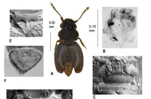 Image of Numa Carmen beetle discovered at Amazon Conservation's Villa Carmen Biological Station